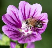 在一朵紫色花的蜂 宏指令 免版税图库摄影