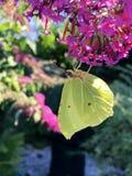 在一朵紫色花的黄色蝴蝶Gonepteryx rhamni在庭院里 库存图片