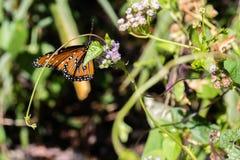 在一朵紫色花的黑脉金斑蝶 免版税库存图片