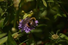 在一朵紫色花-正面图的一只土蜂 免版税库存照片