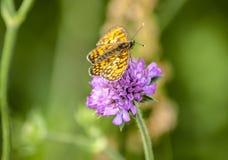 在一朵紫色野花的黄色蝴蝶 库存照片