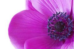 在一朵紫色银莲花属花里面的宏指令 库存照片