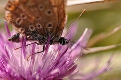 在一朵紫色领域花的蝴蝶 免版税库存照片