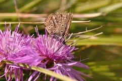 在一朵紫色领域花的蝴蝶 免版税库存图片