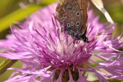 在一朵紫色领域花的蝴蝶 免版税图库摄影
