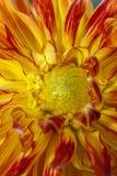 在一朵红色和黄色大丽花里面 免版税库存照片