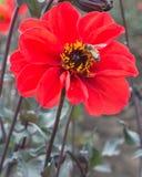 在一朵红色大丽花的蜂 库存照片