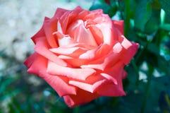 在一朵红色玫瑰的特写镜头在庭院里 免版税库存图片