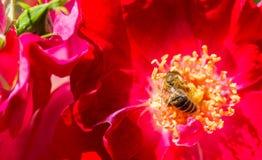 在一朵红色玫瑰的蜂在庭院里 图库摄影