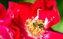在一朵红色玫瑰的蜂在庭院里 免版税库存照片