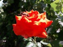 在一朵红色玫瑰的蜜蜂寻找花蜜 图库摄影