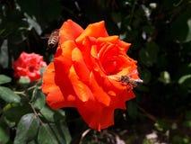 在一朵红色玫瑰的蜜蜂寻找花蜜 免版税库存照片