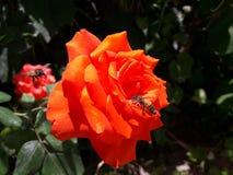 在一朵红色玫瑰的蜜蜂寻找花蜜 库存图片