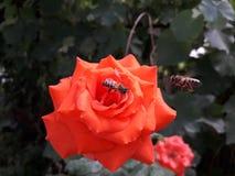 在一朵红色玫瑰的蜜蜂寻找花蜜 库存照片
