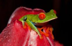 在一朵红色花的一只红眼睛的叶子青蛙 免版税图库摄影