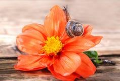 在一朵红色花的一只蜗牛 免版税库存照片
