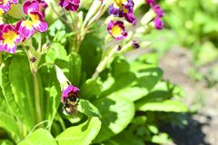 在一朵红色花的土蜂在花和绿色叶子中 在花花蜜 收集花蜜 库存照片