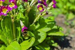 在一朵红色花的土蜂在花和绿色叶子中 在花花蜜 收集花蜜 免版税图库摄影