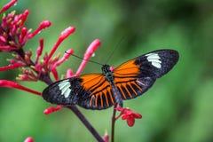 在一朵红色花的多丽丝Longwing蝴蝶 库存照片