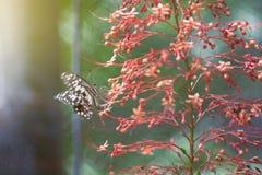 在一朵红色花的石灰蝴蝶 图库摄影