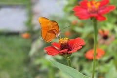 在一朵红色花的美丽的蝴蝶 库存照片