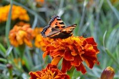 在一朵红色花的美丽的蝴蝶在秋天 免版税图库摄影