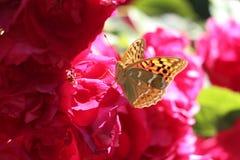 在一朵红色花的美妙的蝴蝶 免版税库存图片