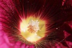 在一朵红色花的花粉 宏指令 免版税库存照片