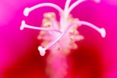 在一朵红色花的花粉 宏指令 库存照片
