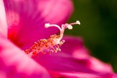 在一朵红色花的花粉 宏指令 免版税图库摄影