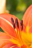 在一朵红色花的花粉 免版税库存照片