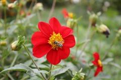 在一朵红色花的蜂 库存照片