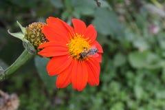 在一朵红色花的蜂 免版税库存图片