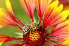 在一朵红色花的蜂 免版税库存照片