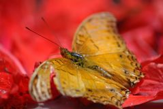 在一朵红色花的金黄蝴蝶 图库摄影