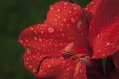 在一朵红色花的雨珠 免版税库存图片