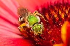 在一朵红色花的绿色蜂 免版税库存图片
