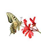 在一朵红色花的蝴蝶在白色背景 免版税库存图片