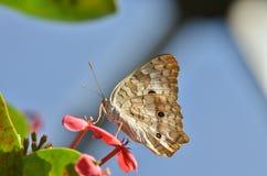 在一朵红色花的蝴蝶 免版税库存图片
