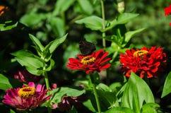 在一朵红色花的蝴蝶 库存照片