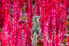 在一朵红色花的麻雀鸟 库存照片