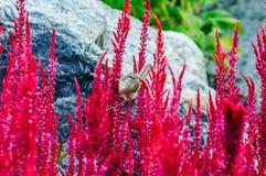 在一朵红色花的麻雀鸟 库存图片