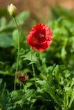 在一朵红色鸦片花的蜂 免版税库存图片