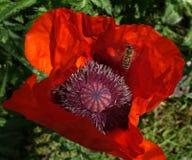 在一朵红色鸦片花的蜂 库存图片