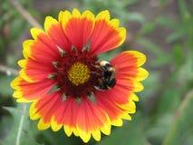 在一朵红黄色花的一只蜂 图库摄影