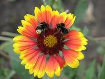 在一朵红黄色花的两只蜂 库存照片
