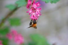 在一朵美丽的桃红色花的土蜂 免版税库存照片