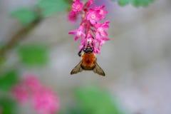 在一朵美丽的桃红色花的土蜂 库存照片