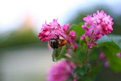 在一朵美丽的桃红色花的土蜂 免版税图库摄影