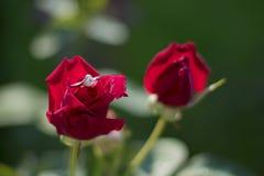 在一朵美丽的红色玫瑰的定婚戒指 免版税库存图片